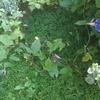 アサガオが3つ小さく咲く、キンモクセイの花は開いた。