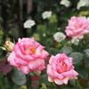 "横浜""Rose Week""(3)"