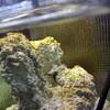 シアノバクテリアまみれなので水流を変える