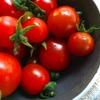 雨上がりのミニトマト