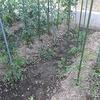 トマト近況&アブラムシ ~Status of tomatoes& Aphids