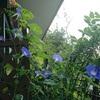 朝顔の観察日記 2021 (15) - 2021/07/28 【開花ラッシュ】
