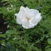 2013/06/10 ハマナス八重白の2番花