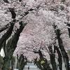 神戸・灘 「桜のトンネル」も満開でした。