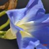 青い朝顔と、青いLED