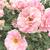 新宿御苑の美しきバラ