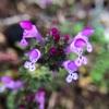 人参の横に可憐な綺麗な雑草の花。ホトケノザだと判明したけど、七草の仏の座とは別物らしいです。