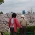 2017神戸の桜、すべて散りました。蔵出し写真、穴場を2箇所ご紹介(会下山公園、宇治川)