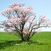 [名桜探訪]★崎守町の一本桜(名桜探訪⑫)