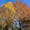 温泉の山 黄色の楓