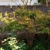 ドウダンツツジ、自然樹形へ その2