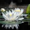 京都 初夏の花睡蓮が見れるスポット 実は有名な観光地でも見れる!