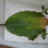 セイロンベンケイソウの芽
