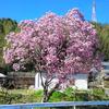 ピンクの木蓮が咲いていた・・・湯布院➡阿蘇方面