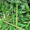 竹がいくつも伸びてくる