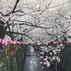 目黒川沿の桜