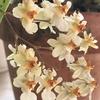 オンシジューム・トゥインクル、アデニウム・オベスム、クリサンセマムの開花、ゴールデンベリーの収穫、虹色スミレの植え付け、ニゲラ・サティバの様子