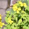 ウインターサーフ物語。「乱舞する黄色い菜の花と日差しが戻った東の空から射す白い光線が降りそそぐ海面に滑り込ませたサーフボードを揺らすのはもう、春の風」の巻。