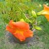 鉢植えのノウゼンカズラ