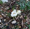 「クロッカスが咲きましたよ。早くはないのかい?」 - Crocus
