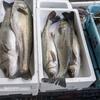 2019年11月15日 小浜漁港 お魚情報