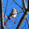 鳥撮り@小宮公園でルリビタキ、イカル、トラツグミ♪
