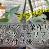 【ワクワク野菜作り!】芽キャベツとカリフラワー 植え付け後一ヶ月