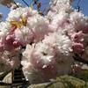 ソメイヨシノは去っても春の花は賑やかなようで(その1)