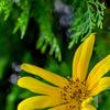 【コマツ】コマツの杜で貰ったヒマワリが咲いたよ【コマツの杜】【ヒマワリ】