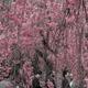 【旅行記】フォトジェニックな京都旅!初めて一眼で桜を撮ってきた!(2017.04.10)