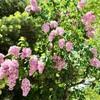 初夏の札幌 #1(ライラックの花など)