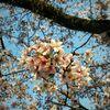 桜と娘の一人暮らし