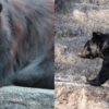 石川県でクマが人を襲う事件が多発