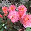「まつこの庭」・夏のバラ