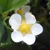 イチゴの花2