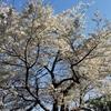 桜と靖国神社と卒業式☆