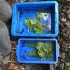 カワニナが好きな葉っぱ何だろう⁉実験