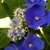 君はアジサイのどの花を見ているのか?