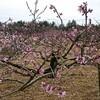 桃の花桜の花ではありません