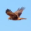 獲物を求めて飛ぶチュウヒ