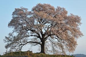 甲州の名木:慈雲寺と周林禅寺 残雪の八ヶ岳映える一本桜:王仁塚