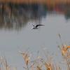 手賀沼の岸辺近くをホバリングして漁をするユリカモメ