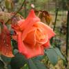この時期のバラ