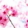 【新潟写真】上堰潟公園の桜 2020年4月4日