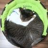 ウチの猫は飼い主が好きなのか、骨盤クッションが好きなのか