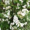 春たけなわで咲き誇る我が家の花々、短い春に放たれた一瞬の閃光を愛でまっせ!