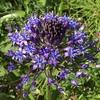 オオツルボ(大蔓穂)の花