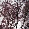 桜 こごみ