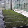 水稲の育苗