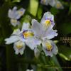シャガ 射干、胡蝶花 Iris japonica